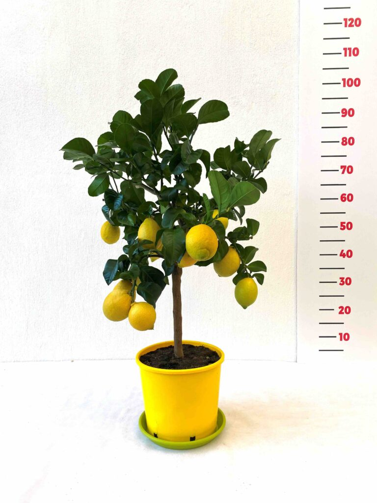 limone carrubaro1