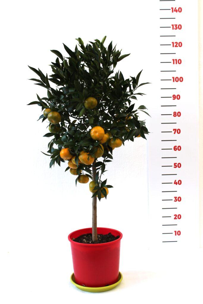 mandarino24